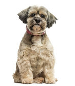 Front view of a Lhasa apso sitting, looking at the camera, isola — Stock Photo