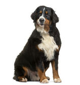Bernese Mountain Dog sitting, looking away, 8 months old, isolat — Stock Photo