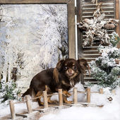 Chihuahua standing on a bridge in a winter scenery, fearful, 1,5 — Stock Photo