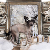 Chinese crested dog puppy standing on a bridge in a winter scene — Stock Photo