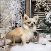 Chihuahua sitting on a bridge in a winter scenery, 10 months old — Stock Photo