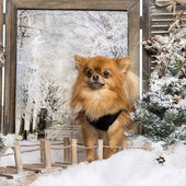 Dressed- up Chihuahua standing on a bridge, in a winter scenery — Foto Stock