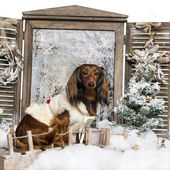 Dressed-up Dachshund sitting on a  bridge in a winter scenery — Stock Photo