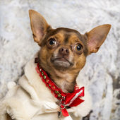 Close-up of a dressed-up Chihuahua in a winter scenery — Stok fotoğraf