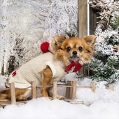 Dressed-up Chihuahua sitting on a bridge in a winter scenery, lo — Stock fotografie