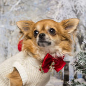 Close-up of a dressed-up Chihuahua in a winter scenery, looking  — Photo