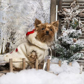 Dressed-up Yorkshire terrier sitting on a bridge, in a winter sc — Stock Photo