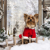 Front view of a dressed-up Yorkshire terrier in a winter scenery — Foto Stock
