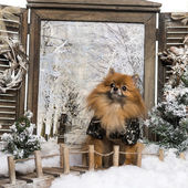 Dressed-up Spitz sitting on bridge, in a winter scenery — Stok fotoğraf