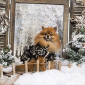 Dressed-up Spitz sitting on bridge, in a winter scenery — Photo