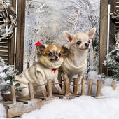 Two dressed-up Chihuahuas on a bridge, in a winter scenery — Stok fotoğraf