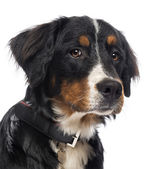 Close-up of a Bernese Mountain Dog, isolated on white — Stock Photo