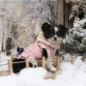 Dressed-up Chihuahua puppy sitting on a bridge in a winter scene — Stok fotoğraf