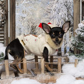 Dressed-up Chihuahua puppy standing on a bridge in a winter scen — Stok fotoğraf