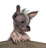 Close-up of a Chinese crested dog leaning on a wooden board, iso — Stock Photo