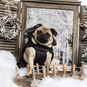 Dressed up Pug sitting on bridge in a winter scenery, looking at — Zdjęcie stockowe