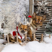 Two dressed-up Chihuahuas on a bridge, in a winter scenery — Foto de Stock