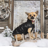 Dressed-up Chihuahua in a winter scenery, 9 months old — Stok fotoğraf