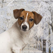 Close-up of a Jack russel in a winter scenery, 8 months old — Stock Photo