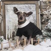 нарядили китайская хохлатая собака в зимний пейзаж, 9 месяцев — Стоковое фото