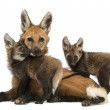 Stock Photo: Maned wolf mom and cubs cuddling, looking at camera, Chrysoc