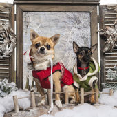 Two dressed-up Chihuahuas on a bridge, in a winter scenery — Foto Stock
