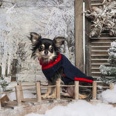 Dressed up Chihuahua sitting on a bridge in a winter scenery — Stok fotoğraf