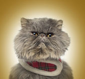 Front view of a grumpy Persian cat wearing a tartan harness, sit — Stock Photo