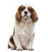 Front view of a Cavalier King Charles Spaniel sitting, looking a — Stockfoto