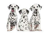 Dalmatiner valpar sitter tillsammans, isolerade på vit — Stockfoto