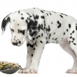 Dalmatian puppy, looking down at a turtle on its back, isolated — Stock Photo #42767479