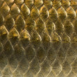 Macro of a Crucian carp skin, Carassius carassius, isolated on w — Stock Photo #42768263