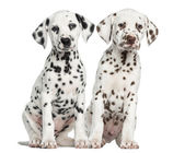 Front view of Dalmatian puppies sitting, facing, isolated on whi — Stock Photo