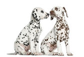 Dalmatian puppies sitting, sniffing each other, isolated on whit — Stock Photo