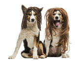 Border Collies wearing wigs sitting together, isolated on white — Stock Photo