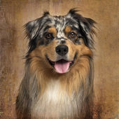 Close-up of an Australian shepherd blue merle, panting, 4 years  — Stock Photo