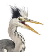 Close-up of a Grey Heron upset, screaming, Ardea Cinerea, 5 year — Foto de Stock