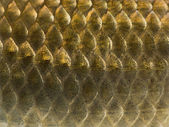 Macro of a Crucian carp skin, Carassius carassius, isolated on w — Stock Photo