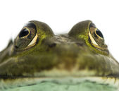 Close-up of an Edible Frog facing, Pelophylax kl. esculentus, is — Stock Photo