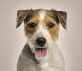 Close-up of a Parson russel terrier panting, looking at the came — Stock Photo