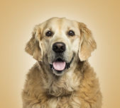 Close-up of a Golden retriever panting, on beige background — Stock Photo