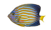 Side view of a Northern Angelfish, Chaetodontoplus septentrional — Stock fotografie