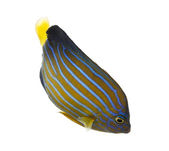 Northern Angelfish swimming down, Chaetodontoplus septentrionali — Foto Stock