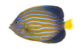 Side view of a Northern Angelfish, Chaetodontoplus septentrional — ストック写真