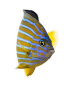 Northern Angelfish, Chaetodontoplus septentrionalis, isolated on — Stok fotoğraf