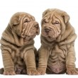 Two Shar Pei puppies sitting together, isolated on white — Stock Photo #42771313