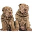 Two Shar Pei puppies sitting together, isolated on white — Stock Photo #42771329