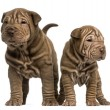 Front view of two Shar Pei puppies standing, isolated on white — Stock Photo