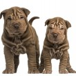 Front view of two Shar Pei puppies standing, looking at the came — Stock Photo #42771419