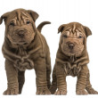 Front view of two Shar Pei puppies standing, looking at the came — Stock Photo